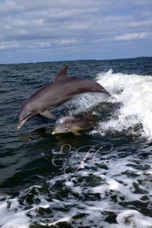 Mama and baby dolphin playing in the wake behind the Island Girl III